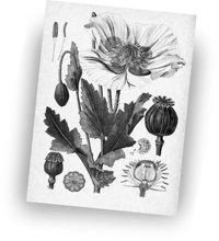 Gli oppiacei, che causano un'elevata assuefazione derivati dal papavero da oppio, sono stati usati per migliaia di anni sia per scopi ricreativi sia per scopi medici.   Per gentile concessione di AP Wideworld