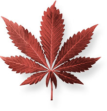 Marijuana is a mixture of dried-out leaves, stems, flowers and seeds of the hemp plant. It is usually green, brown or gray in color.