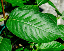 The Truth About Kratom