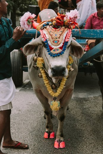 A sacred cow, dressed up