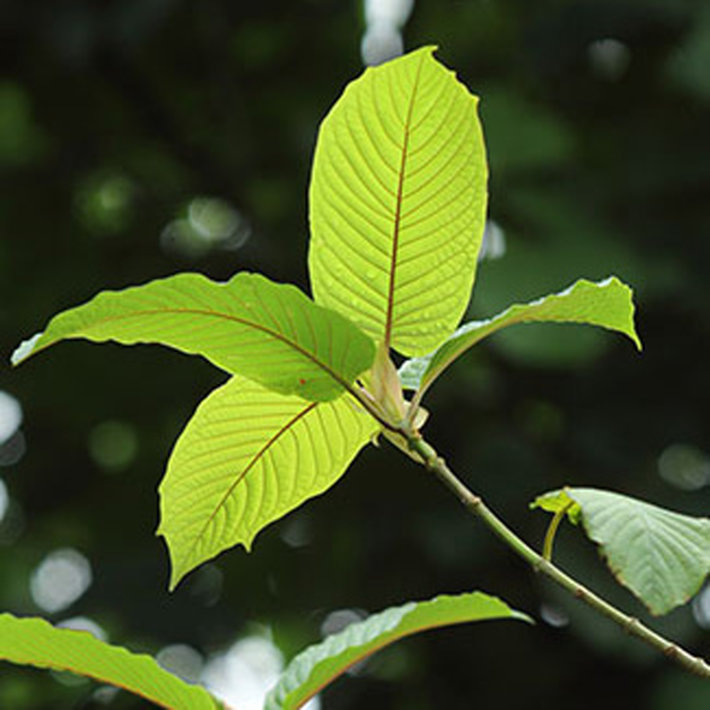 Signs and Symptoms of Kratom Abuse